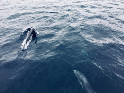 two dolphins seen from the deck of the ferry